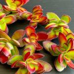 Crassula rubricaulis (Red-stem Crassula)