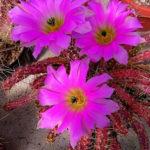 Echinocereus pentalophus subsp. procumbens (Lady Finger Cactus)