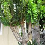 Euphorbia neriifolia (Indian Spurge Tree)