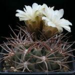 Gymnocalycium castellanosii