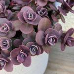 Hylotelephium 'Cherry Tart' (Cherry Tart Stonecrop) aka Sedum 'Cherry Tart'