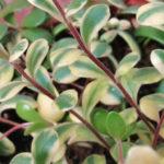 Kalanchoe manginii f. variegata