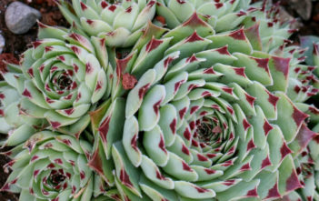 Sempervivum calcareum 'Greenii'