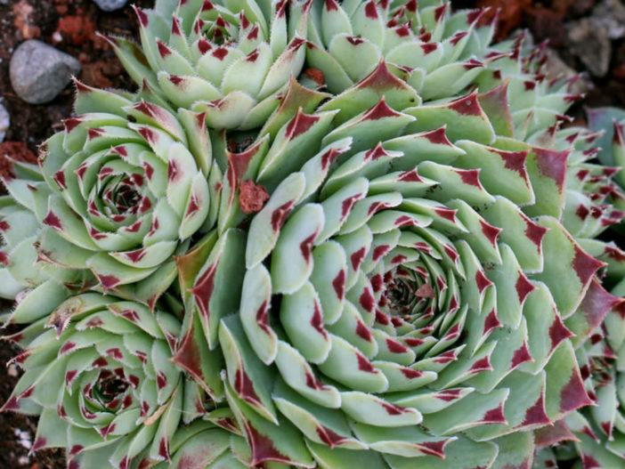 Sempervivum calcareum 'Greenii'