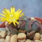 Titanopsis fulleri