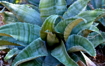 Agave marmorata (Marbled Agave)