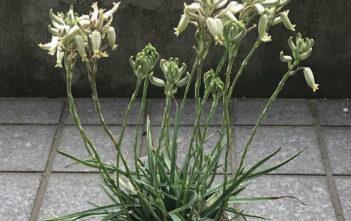 Aloe albida (Grass Aloe)
