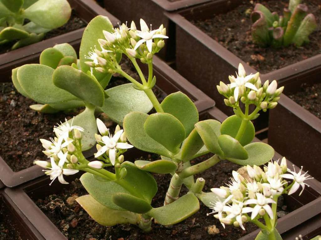 Crassula ovata 'Obliqua' (Jade Plant)