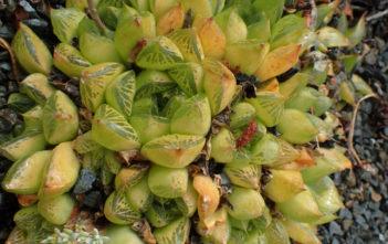 Haworthia transiens aka Haworthia cymbiformis var. transiens