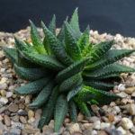 Haworthiopsis scabra