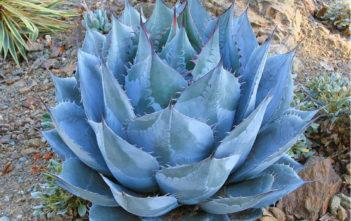 Agave parrasana (Cabbage Head Agave)