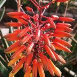 Aloe 'AJR'