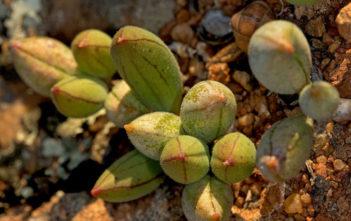 Curio sulcicalyx aka Senecio sulcicalyx