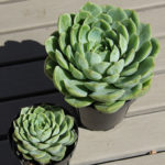 Echeveria 'Lime n' Chile' aka Echeveria 'Lime n' Chili'