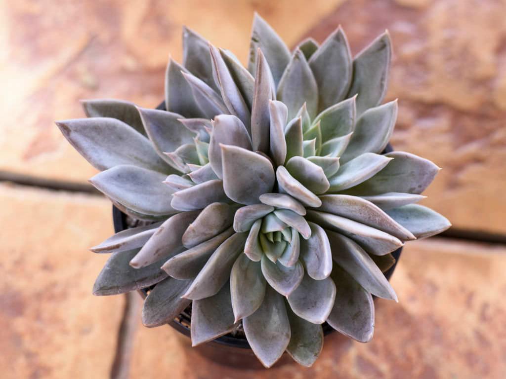 Echeveria 'Silver Queen'