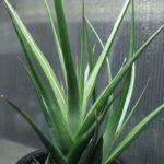 Haworthiopsis longiana aka Haworthia longiana