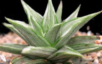 Haworthiopsis tortuosa f. variegata