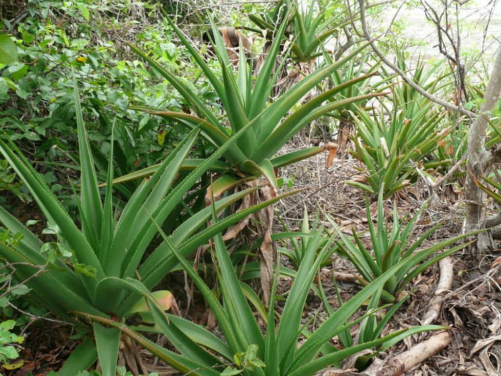 Aloe pembana (Pemba Aloe)