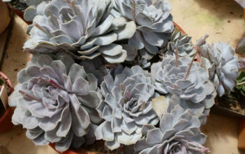 Echeveria 'Lilac Dream'