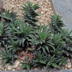 Haworthiopsis pseudorigida aka Haworthia tortuosa var. pseudorigida