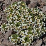 Viola dasyphylla