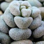 Crassula corallina subsp. macrorrhiza