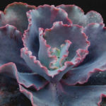 Echeveria 'Silveron Red'