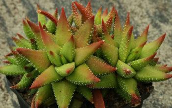 Haworthiopsis attenuata f. tanba