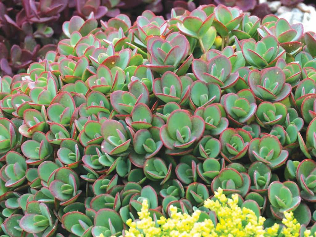 Hylotelephium 'Lime Zinger' (Lime Zinger Stonecrop) aka Sedum 'Lime Zinger'