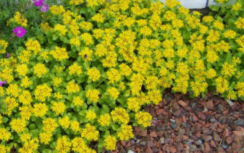 Phedimus kamtschaticus 'Golden Carpet' (Golden Russian Stonecrop)