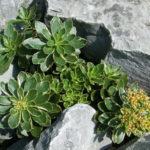 Phedimus kamtschaticus 'Variegatum' (Variegated Russian Stonecrop) aka Sedum kamtschaticus 'Variegatum'