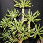 Tylecodon grandiflorus (Dwarf Butter Tree)