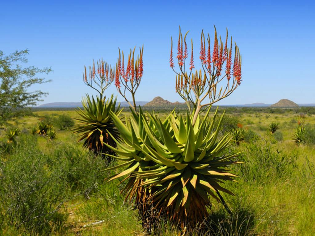 Aloe littoralis (Mopane Aloe)