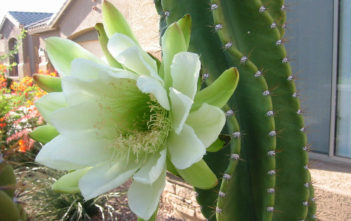Cereus hexagonus (Lady of the Night Cactus)