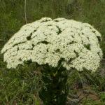 Crassula acinaciformis (Giant Crassula)