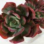 Echeveria 'Briar Rose'