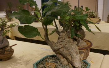 Fockea multiflora (Python Vine)