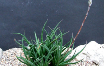Haworthia angustifolia (Narrow-leaved Haworthia)