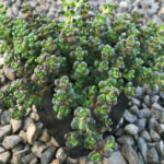 Sedum divergens (Spreading Stonecrop)