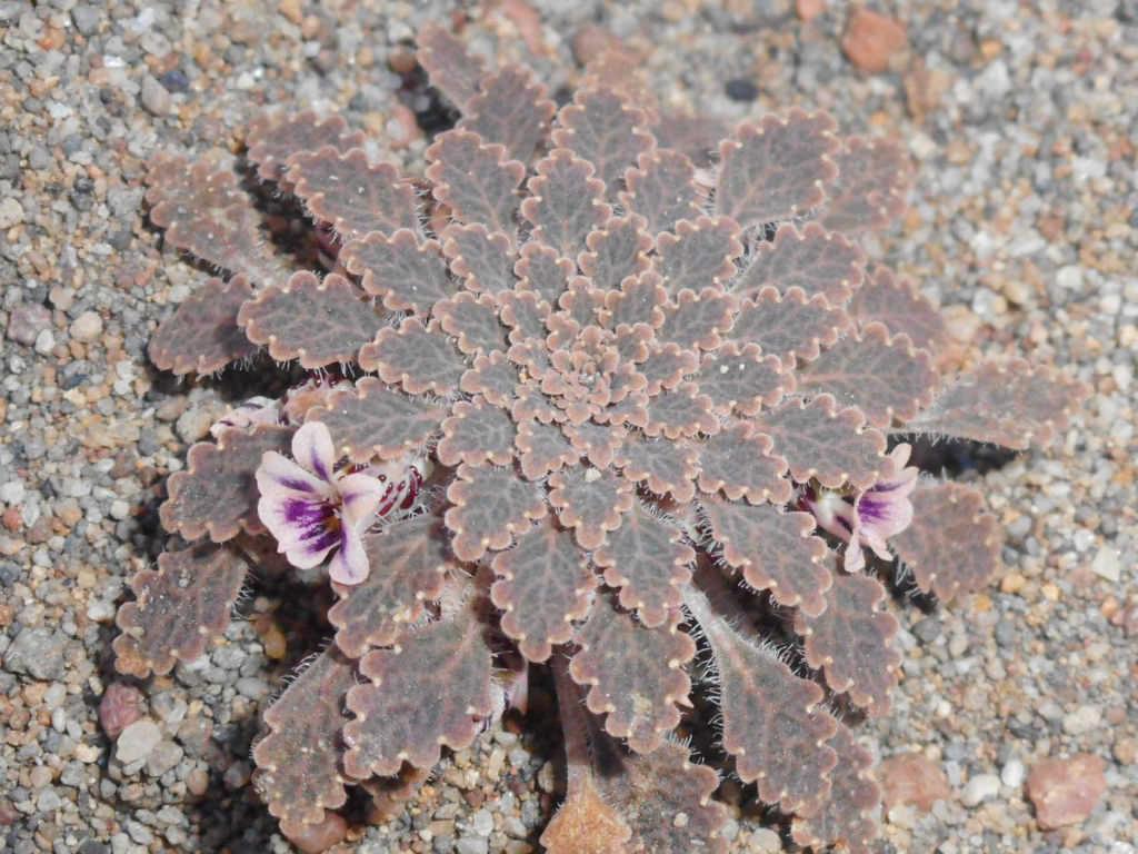 Viola tectiflora