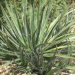 Agave toumeyana (Toumey's Century Plant)