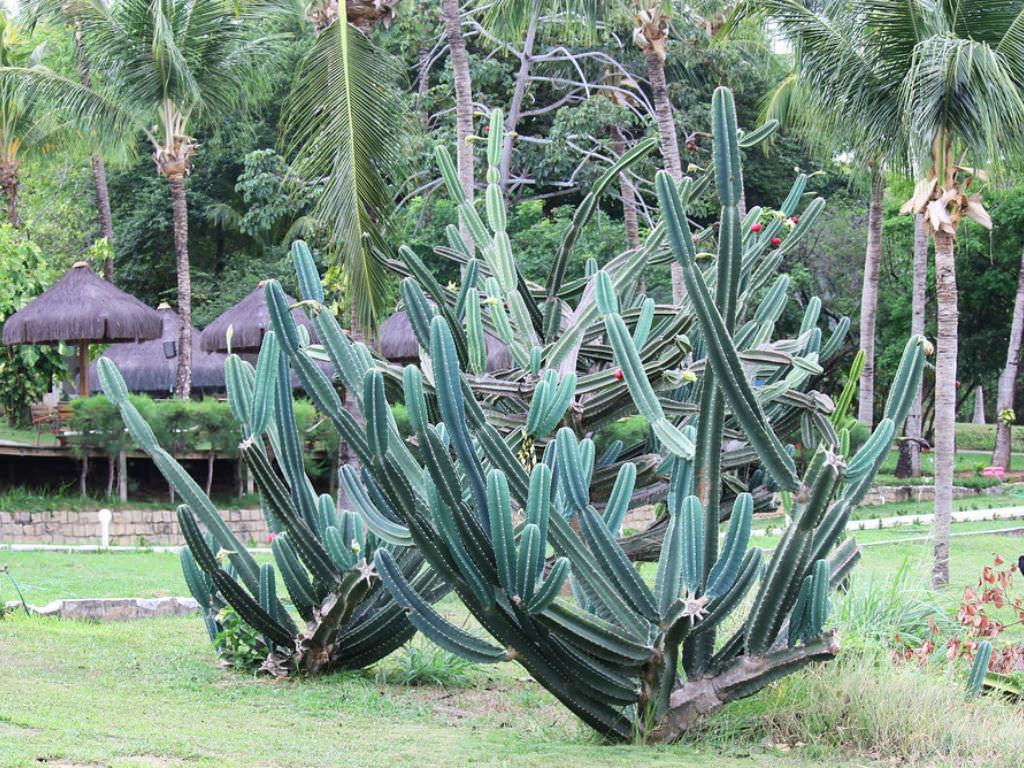 Cereus jamacaru (Pleated Cereus)