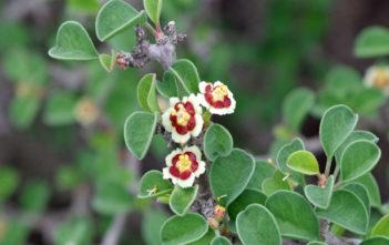 Euphorbia misera (Cliff Spurge)