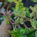 Fockea edulis f. variegata (Hottentot Bread)