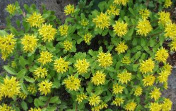 Phedimus ellacombianus aka Sedum ellacombianum or Sedum kamtschaticum subsp. ellacombianum