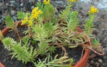 Sedum mexicanum (Mexican Stonecrop)