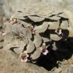Viola trochlearis