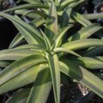 Agave nizandensis (Nizanda Agave)