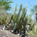 Cereus lanosus