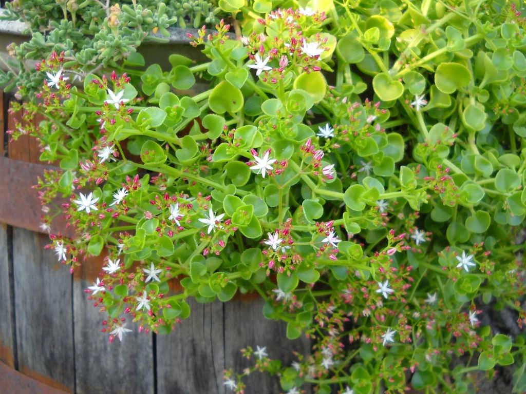 Crassula spathulata (Spathula-leaf Crassula)